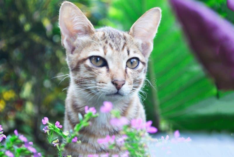 Gattino sveglio di balinese fra l'erba immagini stock