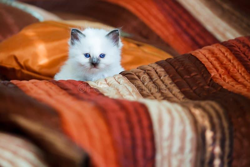 Gattino sveglio di birman che si siede sul letto fotografia stock