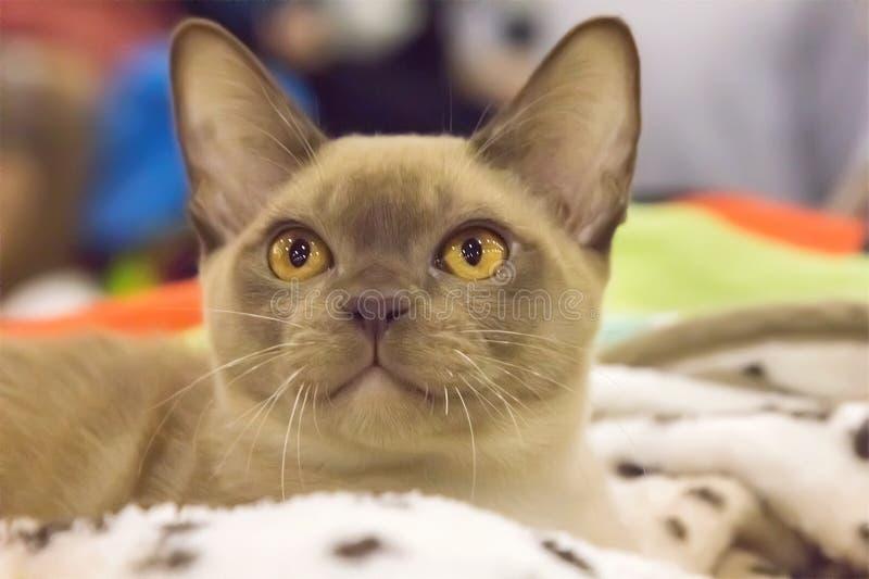Gattino sveglio di birmano del punto del cioccolato fotografia stock