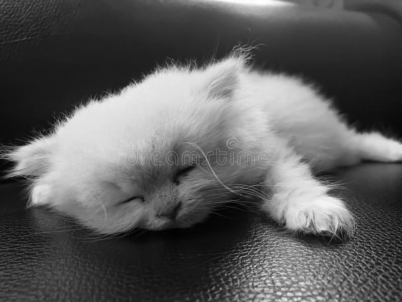 Gattino sveglio di sonno sul cuscino di cuoio brillante immagini stock