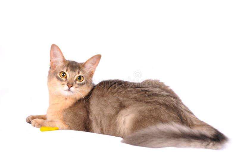 Gatto abbastanza somalo sul sofà bianco fotografia stock
