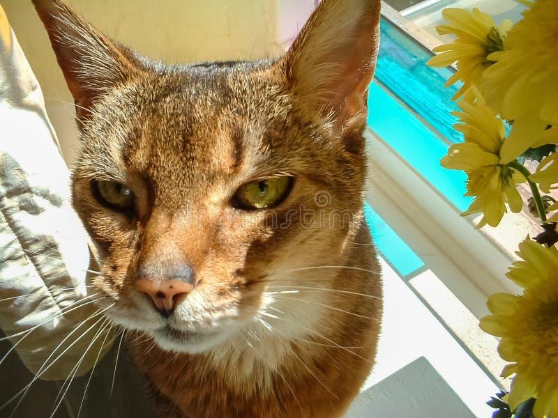 Gatto abissino che si siede nella finestra di vetro macchiato soleggiata immagini stock