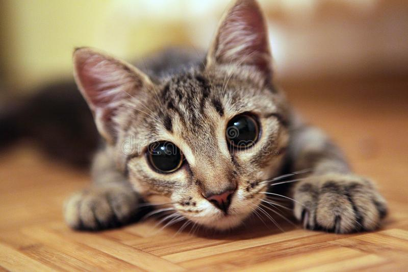 Gatto adorabile con i grandi occhi che esaminano la macchina fotografica immagine stock libera da diritti