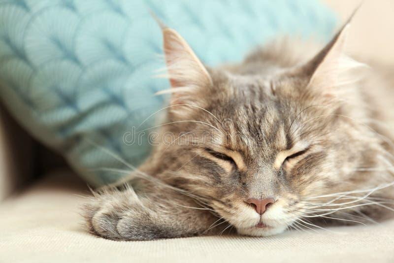 Gatto adorabile di Maine Coon che dorme sullo strato a casa fotografia stock