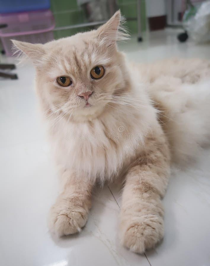Gatto adorabile persiano, fronte lanuginoso divertente del primo piano, nel tono di seppia immagini stock