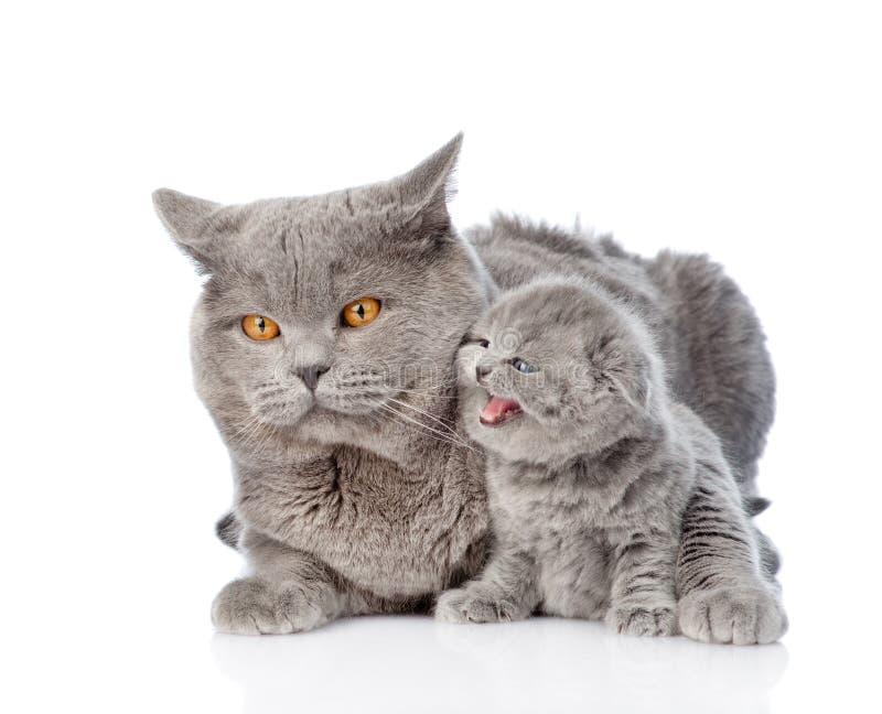 Gatto adulto della madre che abbraccia un gattino neonato Isolato su bianco immagini stock libere da diritti