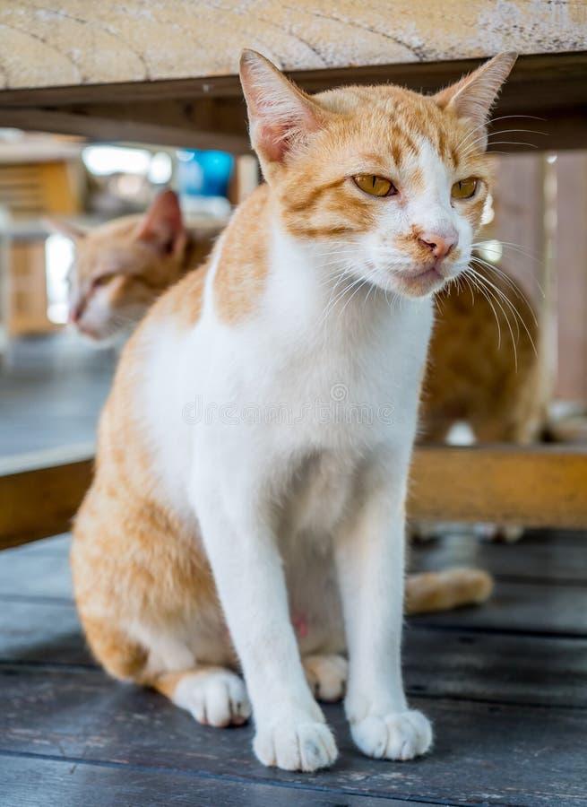 Gatto adulto sotto la tavola fotografia stock libera da diritti