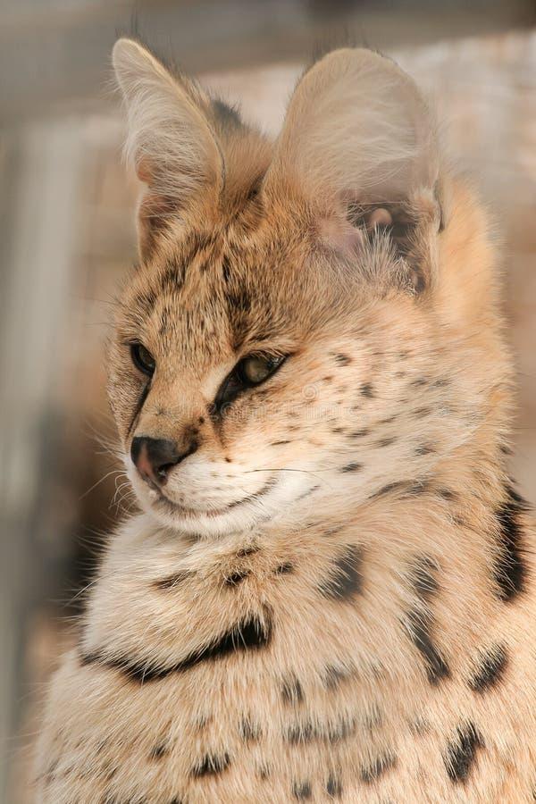 Gatto africano del Serval fotografie stock libere da diritti