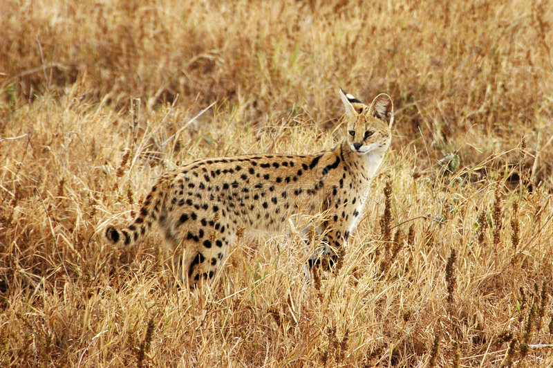 Gatto africano del Serval fotografia stock libera da diritti