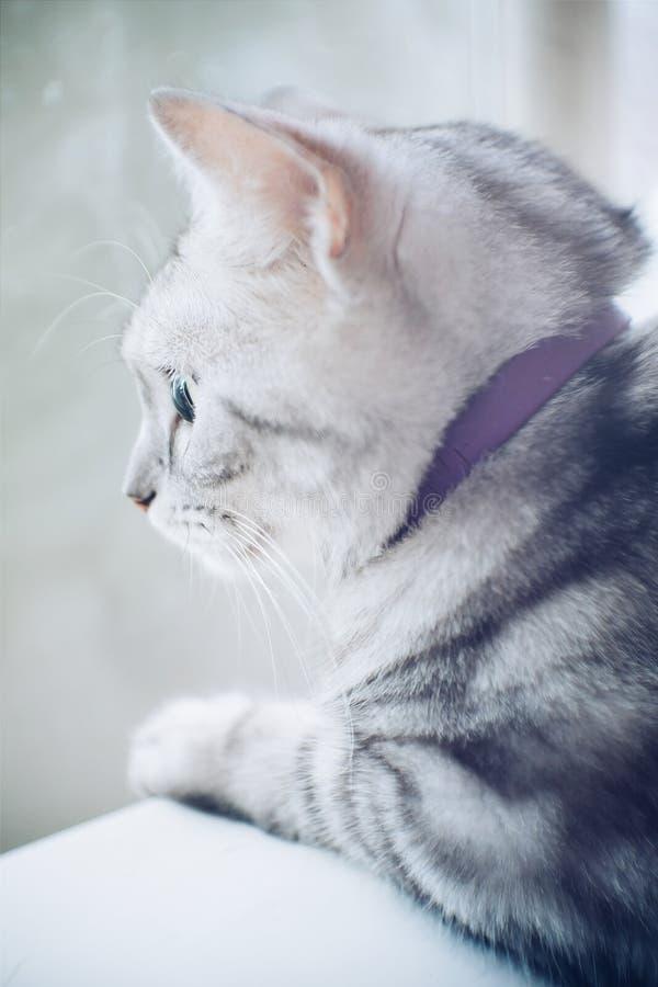 Gatto americano triste dello shorthair immagine stock
