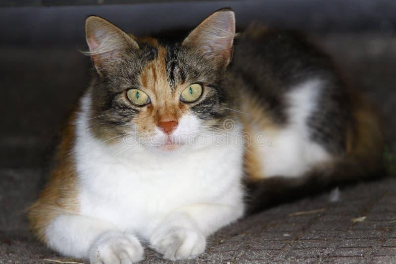 Gatto, animale domestico, animale domestico, immagine stock
