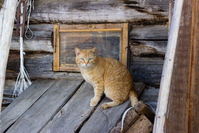 Gatto, animale domestico, lanuginoso fotografia stock