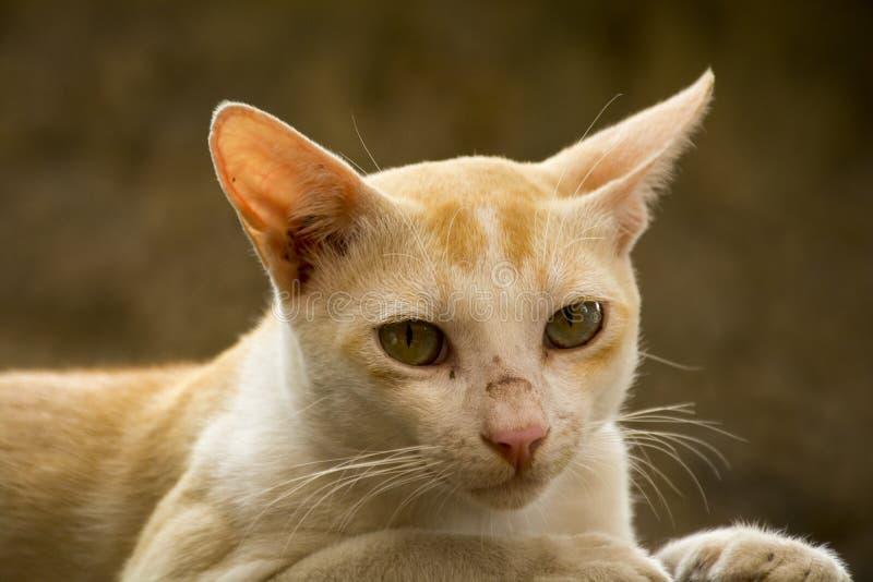 Gatto arancio che sembra anteriore fotografia stock
