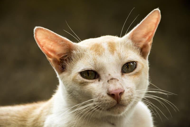 Gatto arancio che sembra anteriore fotografie stock libere da diritti
