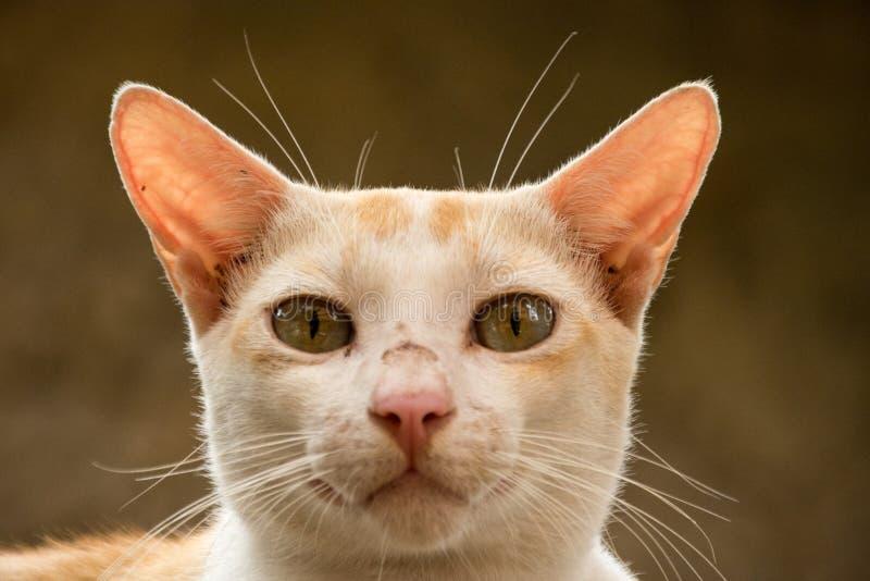 Gatto arancio che sembra anteriore fotografie stock