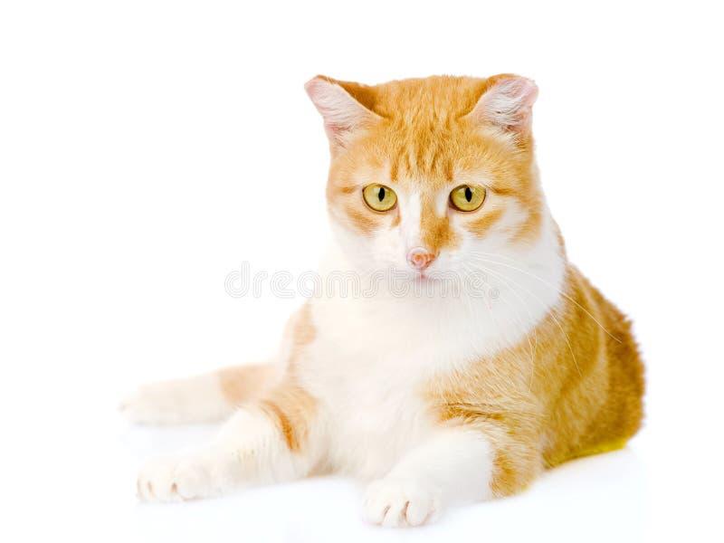 Gatto arancio che si trova nella parte anteriore Su fondo bianco fotografie stock libere da diritti