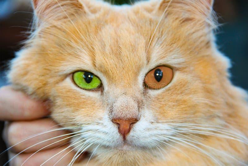 Gatto arancio dello zenzero con verde arancio degli occhi luminosi con un ritratto verticale della pupilla di un animale domestic immagine stock libera da diritti