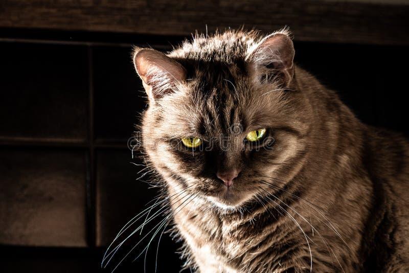 Gatto arancio sembrante pericoloso con gli occhi verdi semichiusi che esaminano la macchina fotografica; luce intensa che illumin fotografia stock libera da diritti