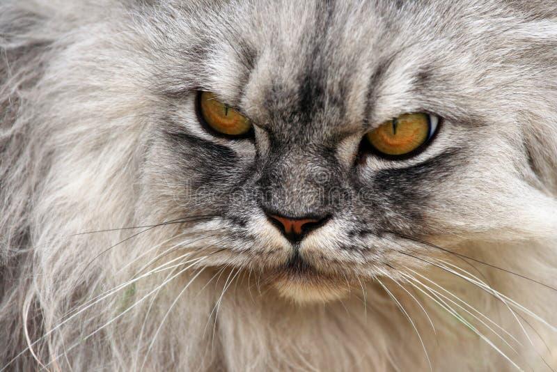 Gatto arrabbiato fotografia stock libera da diritti