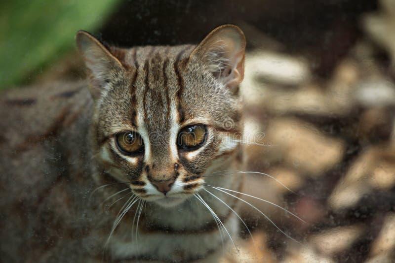 gatto Arrugginito-macchiato (rubiginosus di Prionailurus) fotografia stock