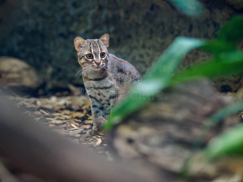 Gatto arrugginito in zoo fotografia stock libera da diritti