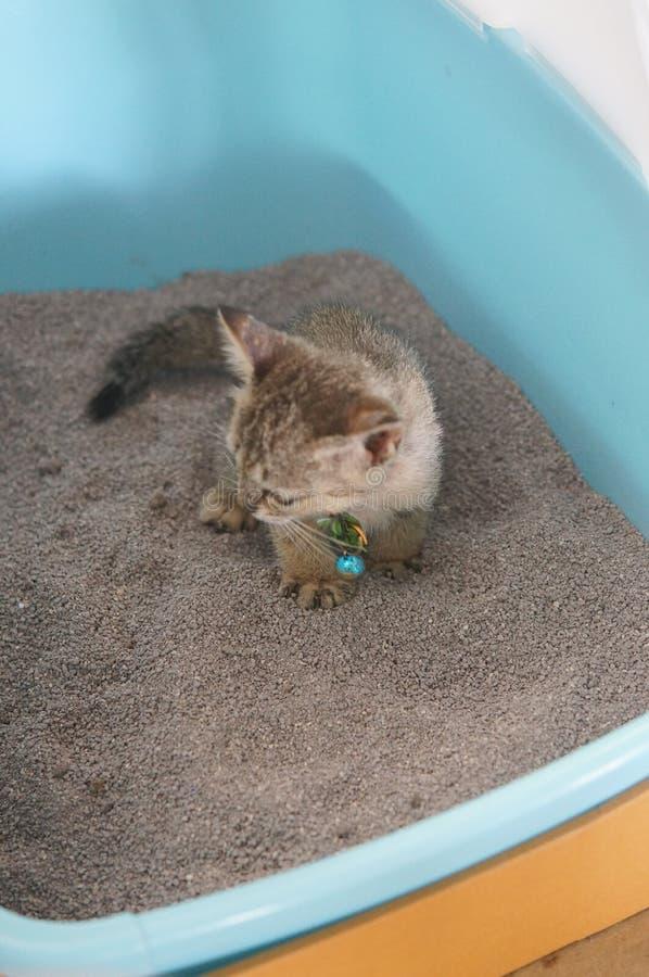 Gatto asiatico del gattino che indossa un collare fotografia stock libera da diritti