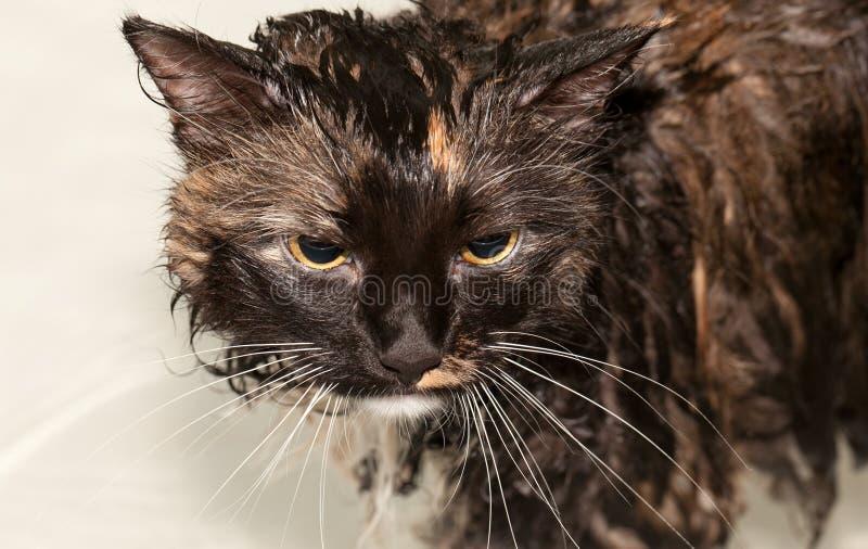Gatto bagnato in vasca da bagno fotografia stock libera da diritti