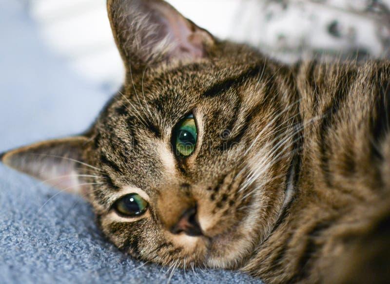 Gatto, basette, Dragon Li, fauna fotografia stock
