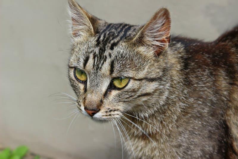 Gatto, basette, fauna, Dragon Li immagini stock