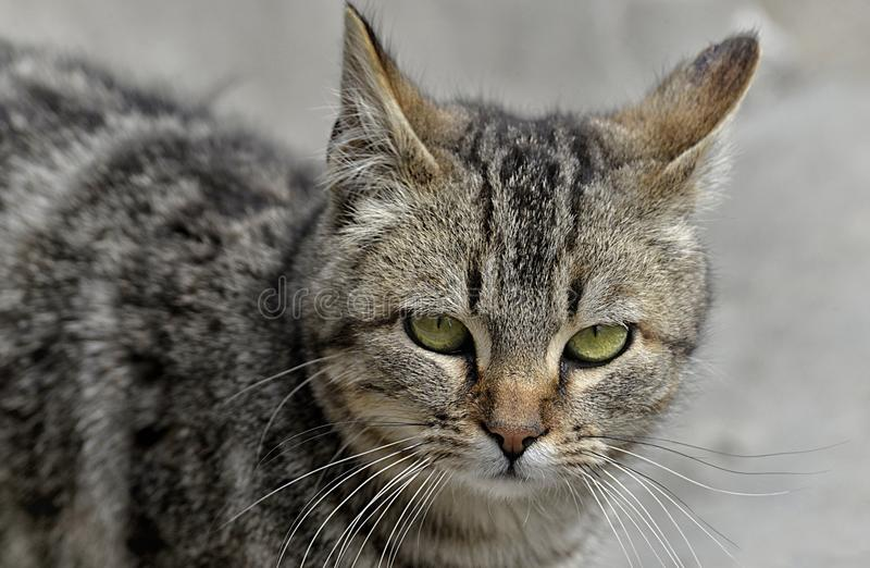 Gatto, basette, fauna, Dragon Li fotografie stock