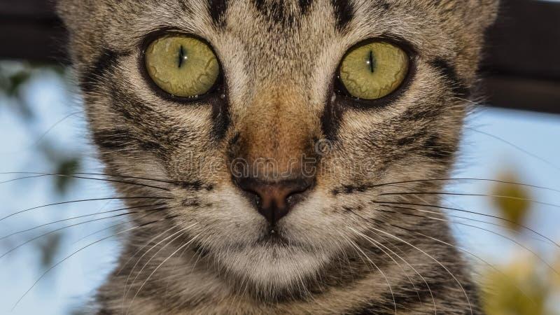 Gatto, basette, fauna, Dragon Li immagini stock libere da diritti