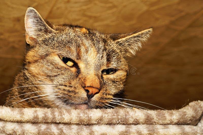 Gatto, basette, fauna, Dragon Li immagine stock