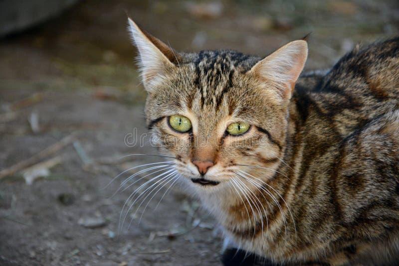 Gatto, basette, fauna, Dragon Li fotografia stock libera da diritti