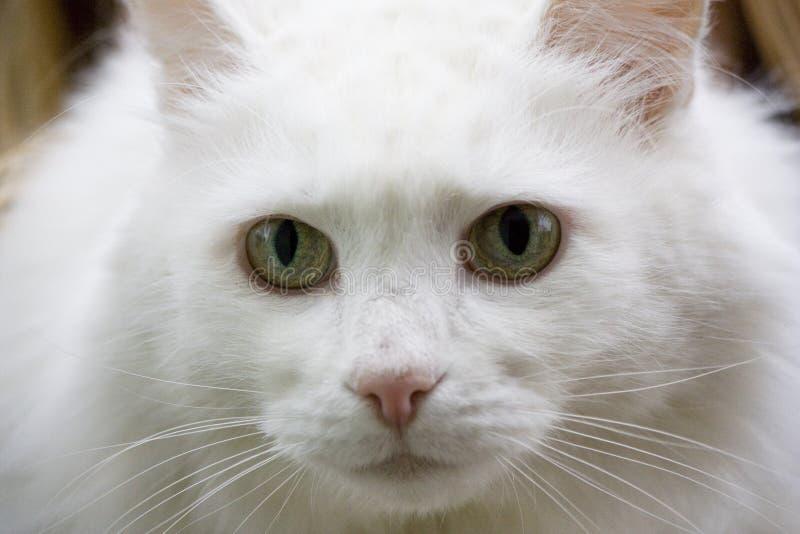 Gatto bianco fotografie stock