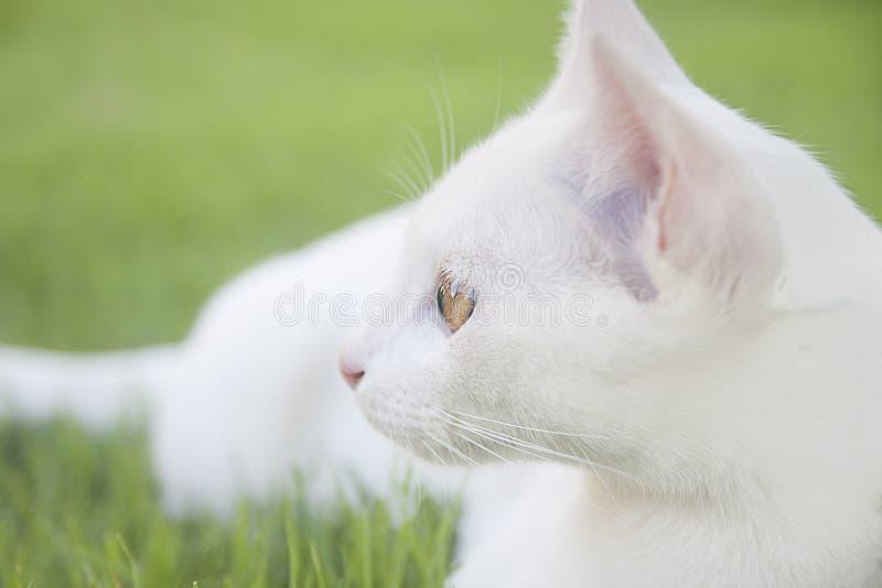 Gatto bianco fotografia stock libera da diritti