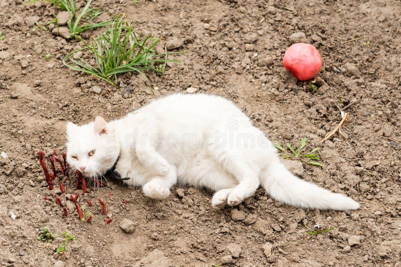 Gatto bianco che gioca con una palla nel giardino, collari della pulce fotografie stock