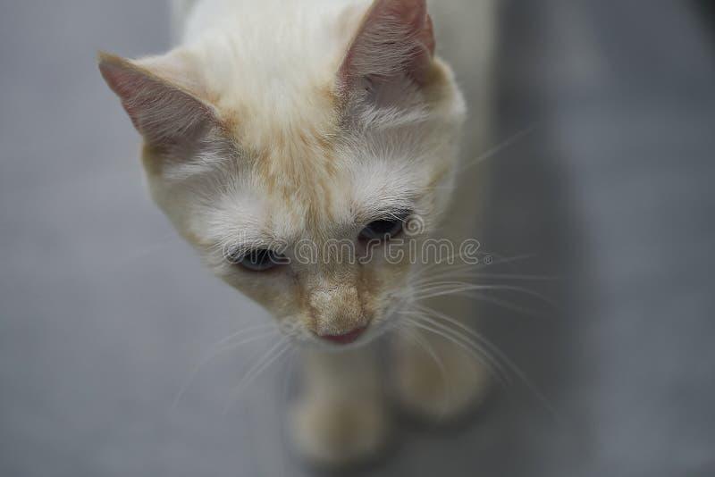 Gatto bianco con gli occhi azzurri fotografia stock