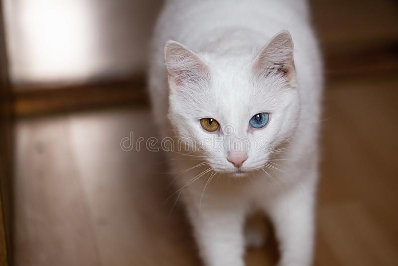 Gatto bianco con gli occhi mal adattati fotografia stock