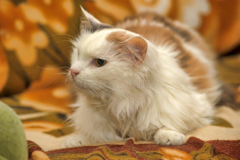 Gatto bianco con i punti rossi e grigi immagine stock