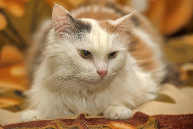 Gatto bianco con i punti rossi e grigi fotografia stock