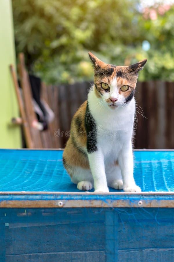 Gatto bianco con le bande gialle che si siedono su una gabbia blu fotografia stock