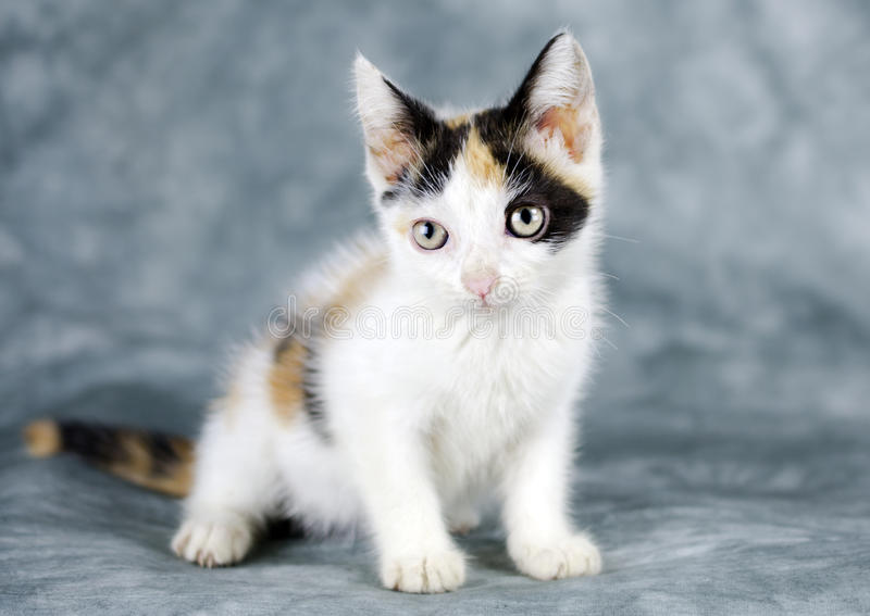 Gatto bianco del gattino del calicò fotografia stock