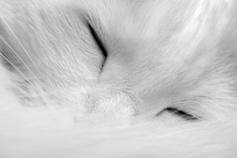Gatto bianco di sonno immagini stock libere da diritti