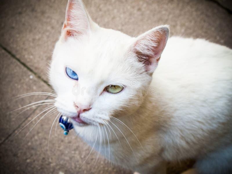 Gatto bianco, dispari osservato fotografia stock