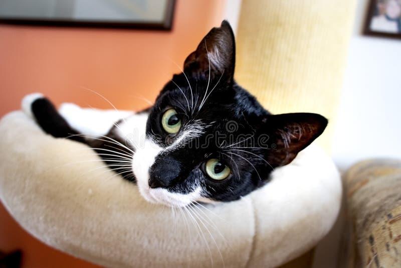 Gatto in bianco e nero bello fotografie stock libere da diritti