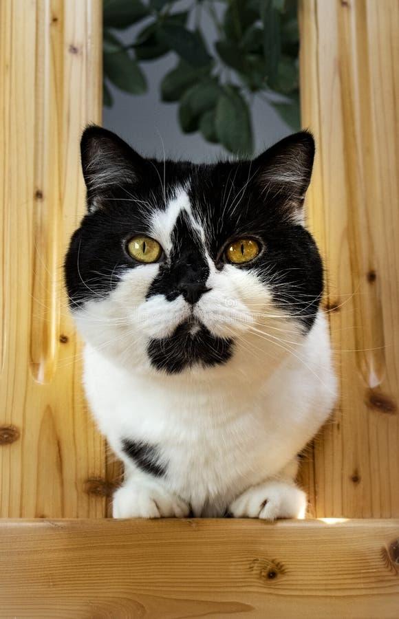 Gatto in bianco e nero bello fotografia stock