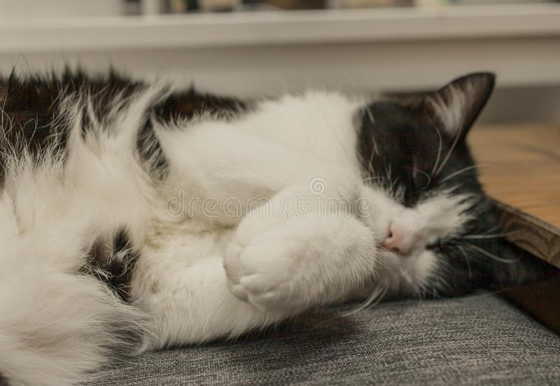 Gatto in bianco e nero di sonno - zampe sveglie fotografie stock