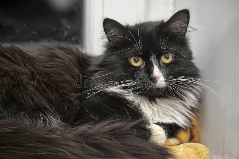 Gatto in bianco e nero lanuginoso fotografia stock libera da diritti