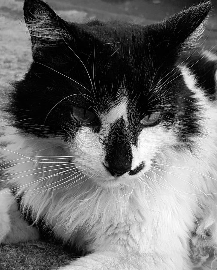 Gatto in in bianco e nero fotografia stock libera da diritti