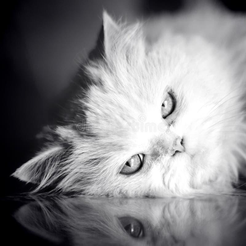 Gatto bianco elegante immagini stock